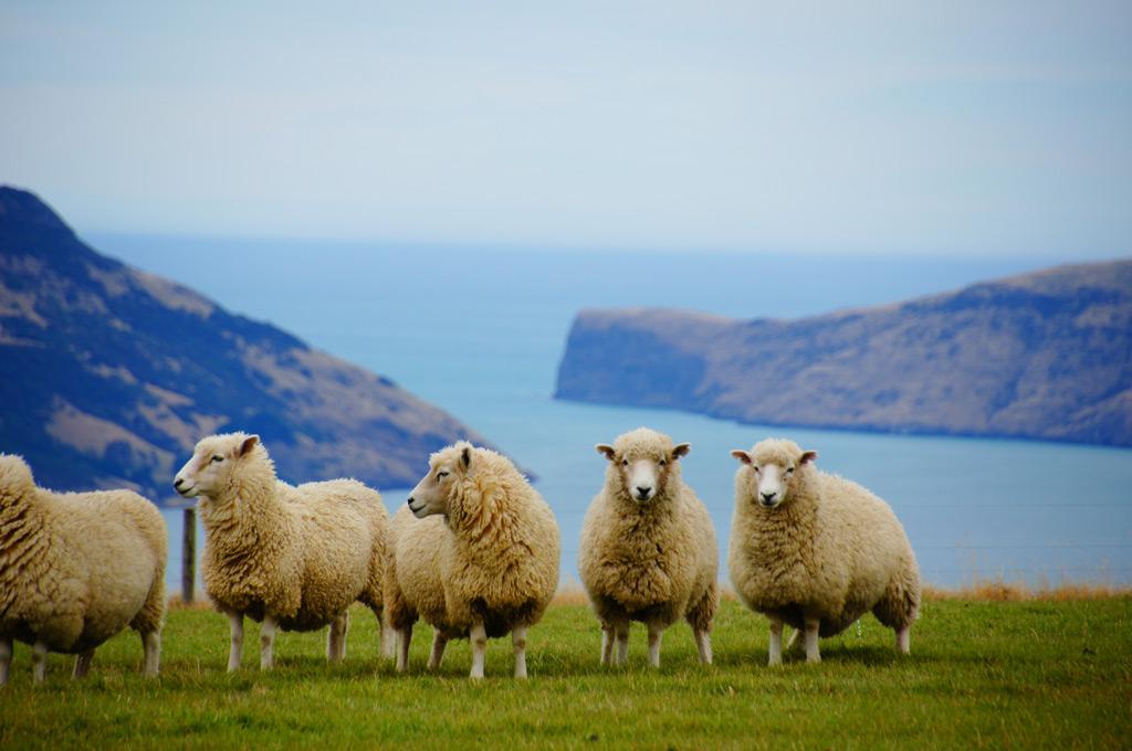 羊の数は人口よりも多い★
