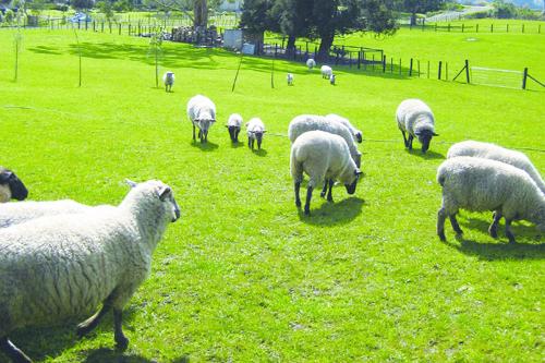 羊は人口の10倍いるんです!