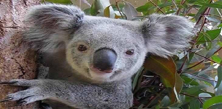コアラに間近に触れ合える!