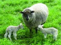 広い牧場には羊がたくさん!